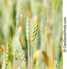 Green wheat in field, background