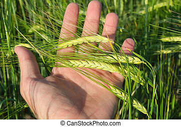 Green wheat in hand