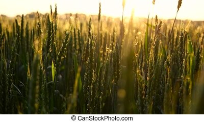 Green wheat in sun rays