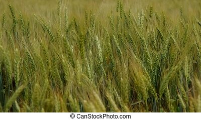 Green wheat in the wind