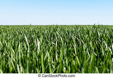 green wheat on a field on a sunny day