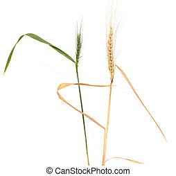 Green wheat on a white background. macro...