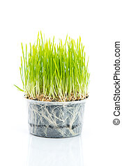 Green wheat on white background