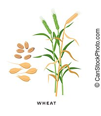 Green wheat plant and ripe wheat crop, cereal grass and grains - vector botanical illustration in flat design isolated on white background