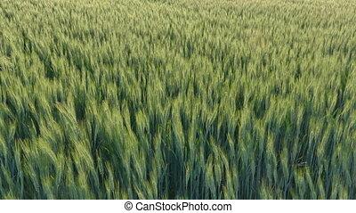 Green wheat plant in field