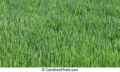 Green wheat plant in field panning