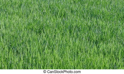 Green wheat plant in field zoom out