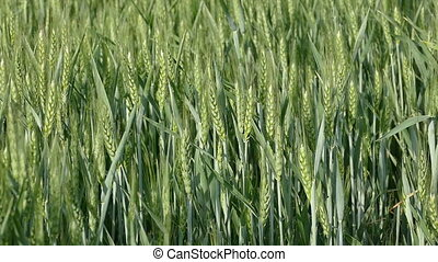 Green wheat plant moving in slow motion