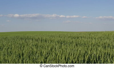 Green wheat plants in field