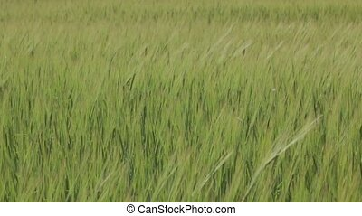 Green Wheat Spikelets medium shot - Green wheat spikelets on...