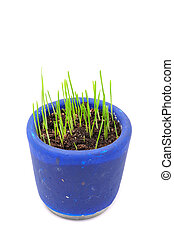 Green Wheat Sprouts in Pot