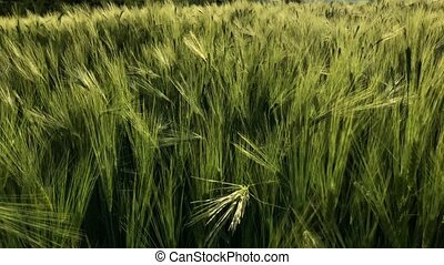 Green wheat stalks blow in the wind. Natural Wheat field....