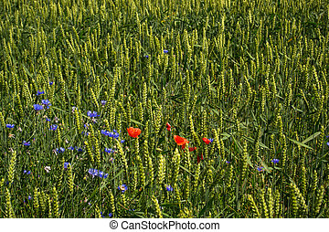 green wheat with wildflowers growing in the field