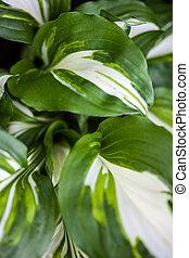 Green-white leaves of hosta
