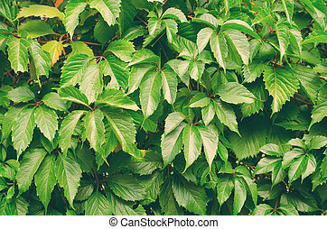 Green wild grapes leaves background