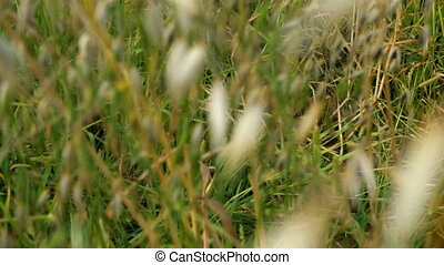 Green wild grass in the field or meadow swing on light wind. Nature background, selective focus.