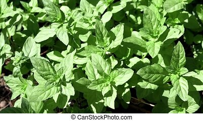 green wild mint background. growing spices in mint leaves ...