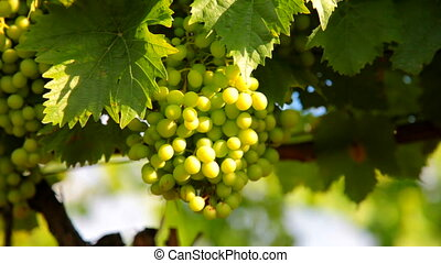 Green Wine Grapes - Hanging bunches of green wine grapes