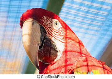 green-winged, の上, ara, chloroptera, 終わり, macaw, ∥あるいは∥