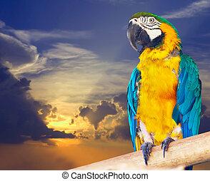 Green-winged macaw (Ara chloropterus) against sunset sky