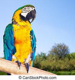 Green-winged macaw (Ara chloropterus) in wildness