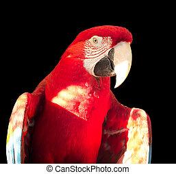 Green-winged Macaw, Ara chloropterus