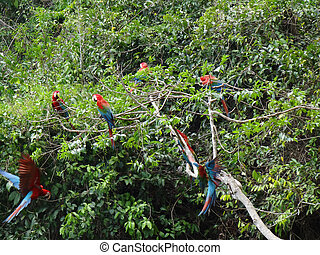 Big group (including two flying) of green-winged macaws at a macaw clay lick at the Tambopata river in Peru.