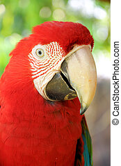 Green-winged Macaw - A Close up Green-winged Macaw face