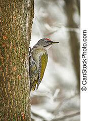 Green woodpecker in winter forest.