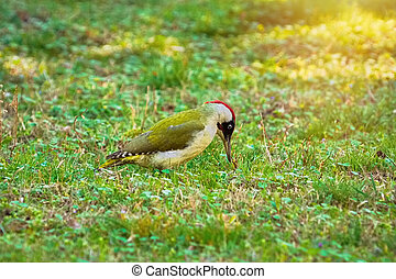 Green Woodpecker on the Ground - Green Woodpecker Looking...