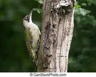 Green woodpecker, Picus viridis, single bird on branch,...