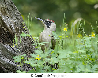 Green woodpecker, Picus viridis, single bird on branch,...