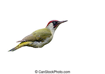 Green Woodpecker, Picus viridis, single male bird on grass,...