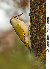 Green woopecker - Green woodpecker female, Picus viridis, on...