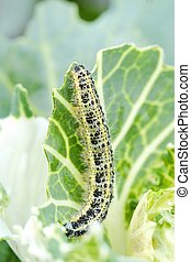 Green worm with black spots on cabbage