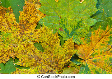 Green, yellow and brown maple leaves texture