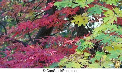 Green, yellow and red maple leaves
