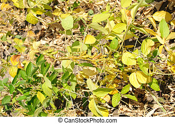 Green - yellow soy plant leaves macro in the cultivate field