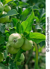 Green, young apples are in a garden