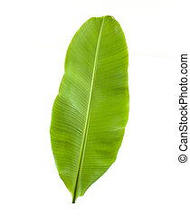 green young banana leaf on background