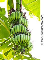 young banana
