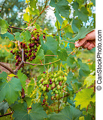 Green young bunches of grapes on the vine. Beginning of summer close-up of grapes growing on vines in a vineyard.