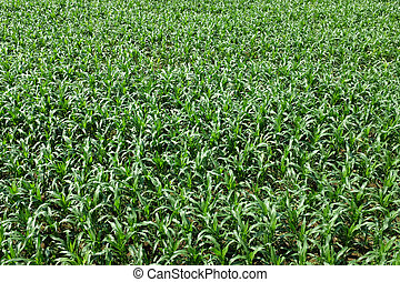 green young cornfield