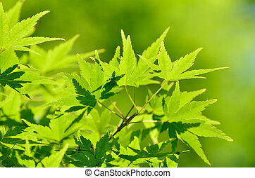 Green young leaves of Palmatum. Early summer season, the ...