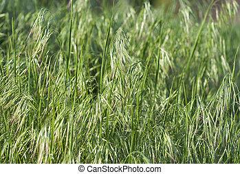 oat background