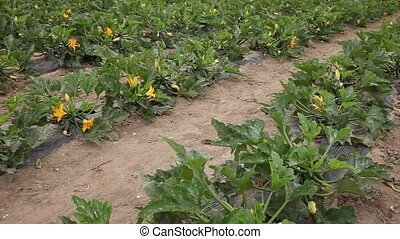 Rows of flowering bushes of organic zucchini ripening on farm field. Popular vegetable crop