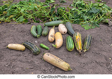 Green zucchini growing in the vegetable garden