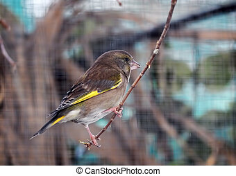 Greenfinch at the branch