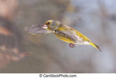 Greenfinch bird in flight
