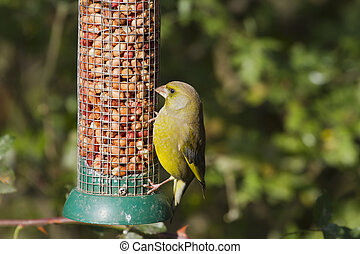 Greenfinch (Carduelis chloris) perched on the feeder
